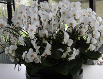 Виды орхидей