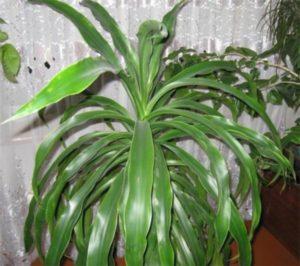 Ширмоносная (D. umbraculifera)